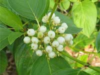 Red osier dogwood (Cornus stolonifera) with white berries