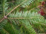 Close up of balsam fir needles