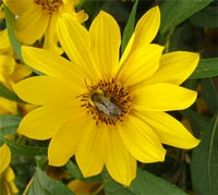 Native Sunflower with a bee