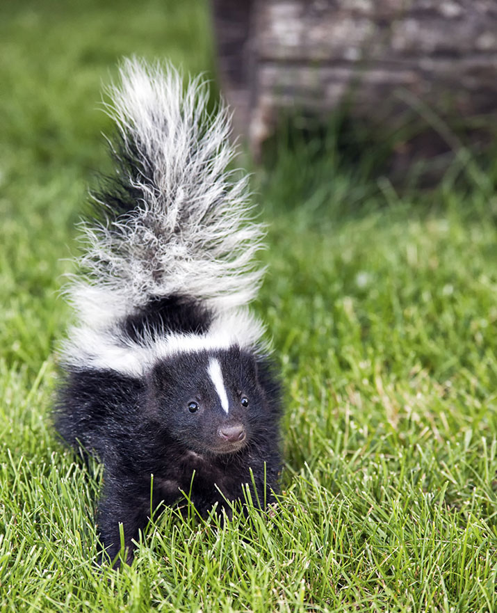Baby skunk in grass