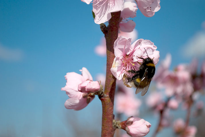 Bumblebee on peach flower small wallpaper