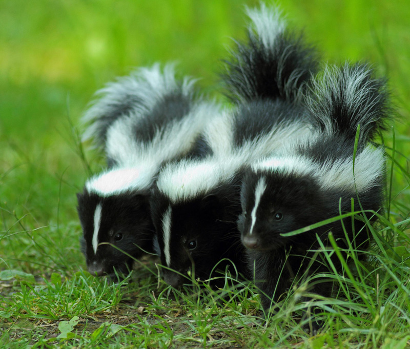 Three skunks in the grass