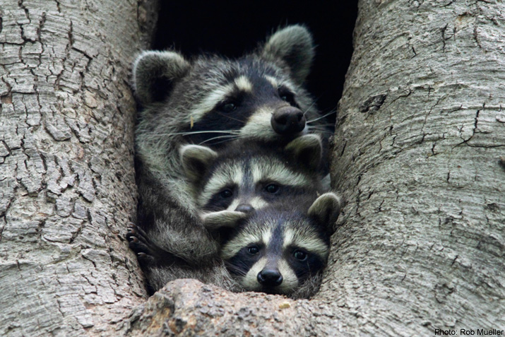 3 Raccoons in a tree
