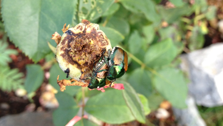 Bugs on roses