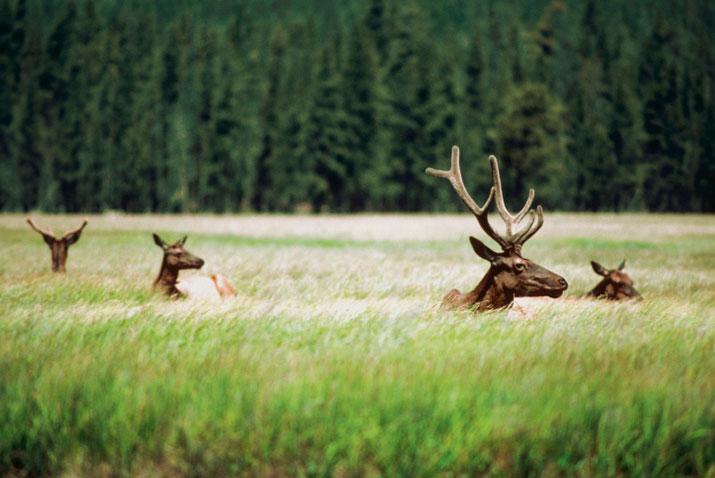 Wildlife Update December 2014 Antlers for Days Caribou