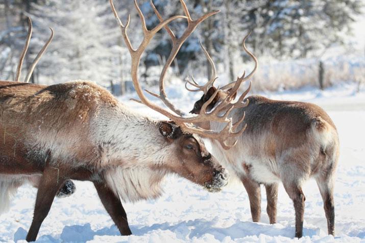 Wildlife Update December 2014 Reindeer or Caribou