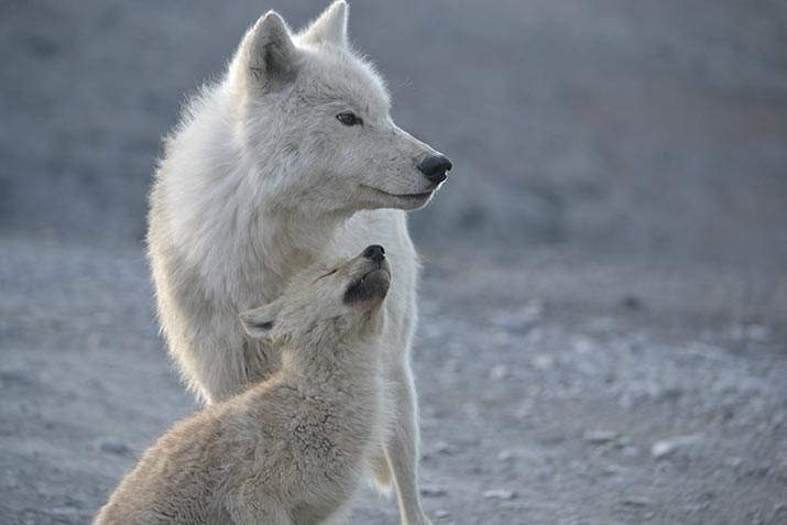 Wolf and wolf cub