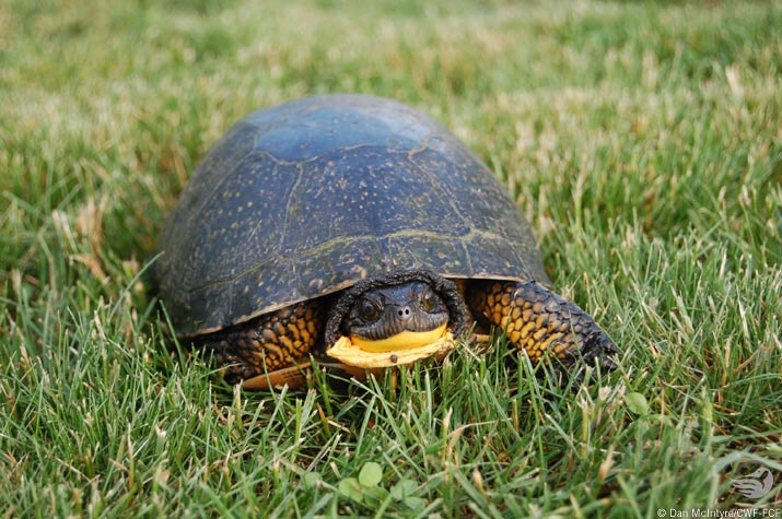Blanding turtle in the grass