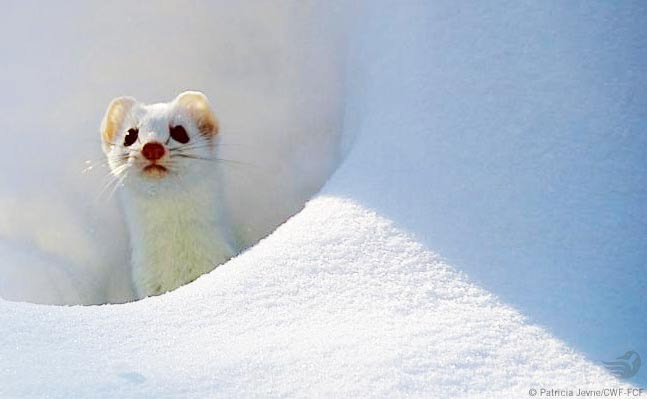White mink in winter