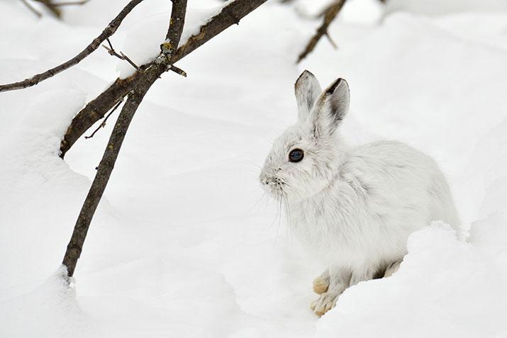 White Hare in winter