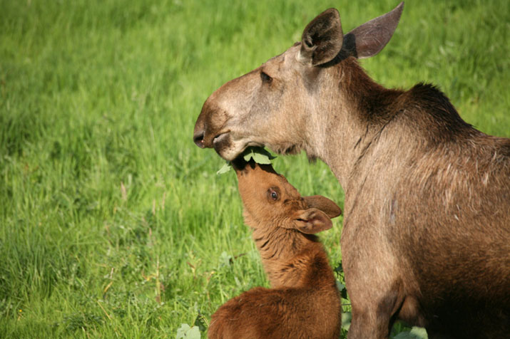 Moose with baby calf