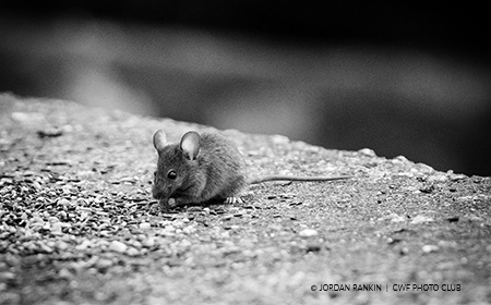 mouse-cement-black-white-photography