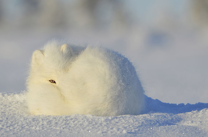 Curled up arctic fox in winter