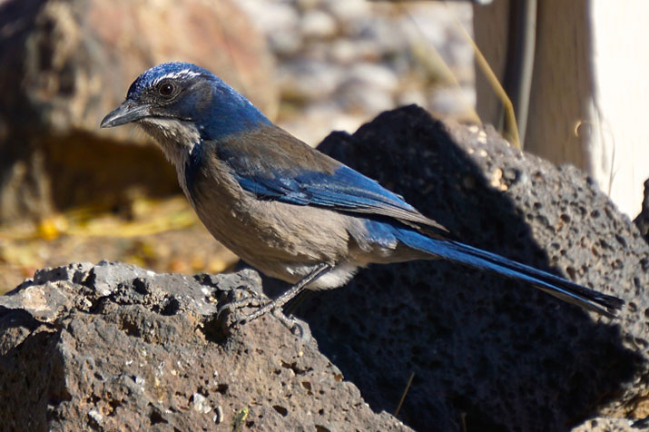Scrub jay on a rock