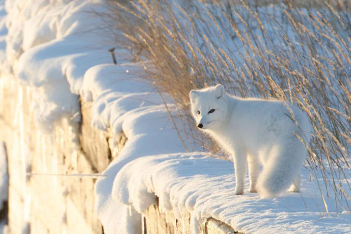 Arctic fox in a snow covered field