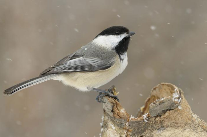 Black Capped Chickadee in winter.  Photo by Daniel Dagenais