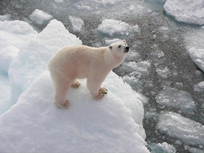 Polar bear on a floating icecap