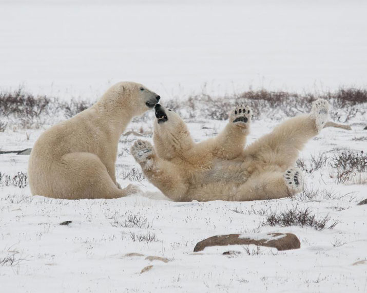 Polar bears playing on the snow