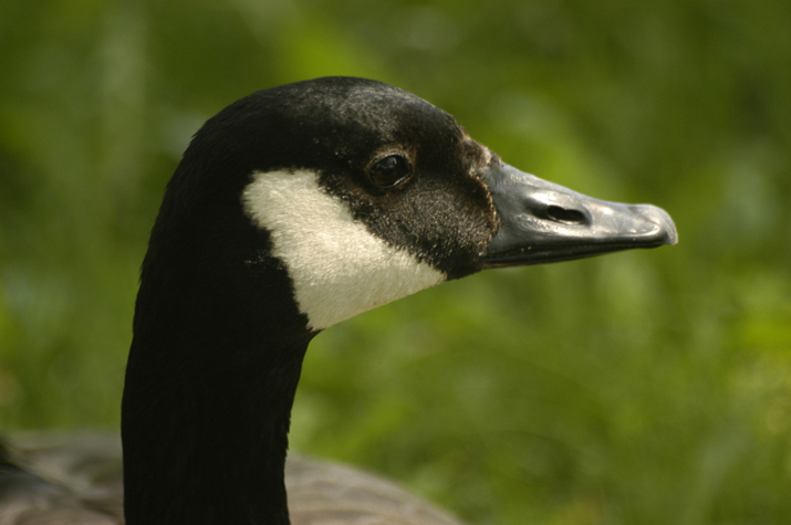 Close up of Canada Goose head