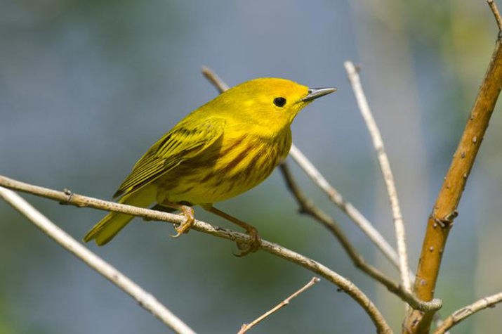 Yellow warbler on a tree branch
