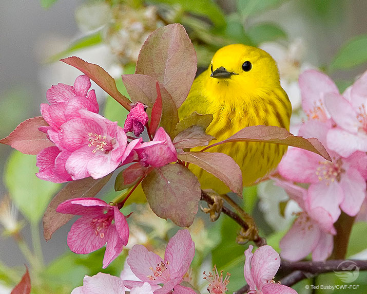 Yellow Warbler Wallpaper Ted Busby 715