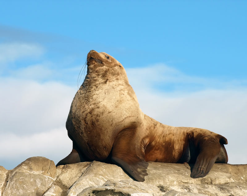 Stellar sea lion against a blue sky