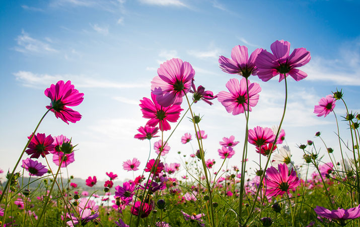 Cosmos Flowers in a field