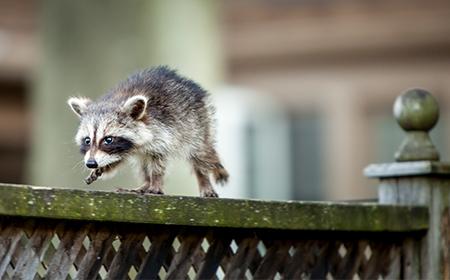 baby raccoon on ledge