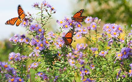 monarch purple flowers