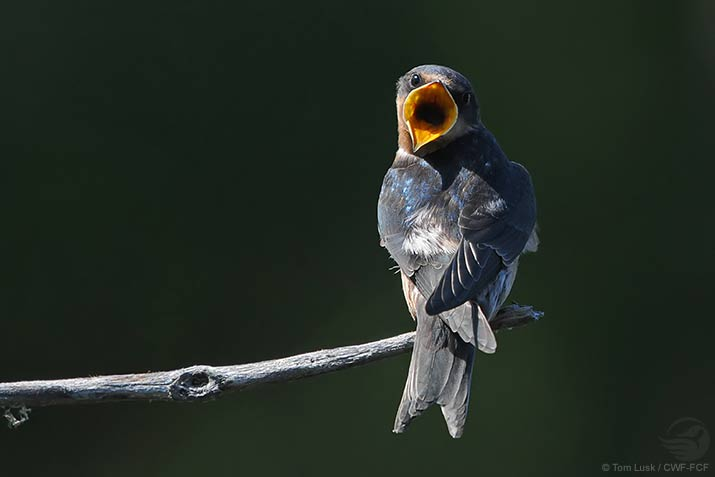 Barn Swallow Tom Lusk
