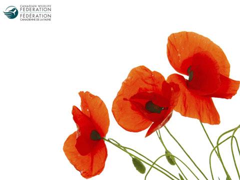 Poppies 480 360