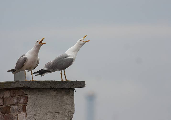Seagulls on the chimney