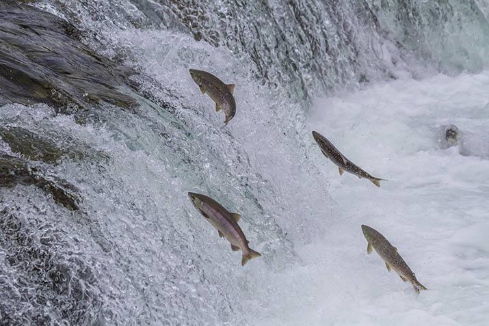 Sockeye Salmon swimming upstream