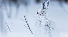 rabbit-winter-landscape
