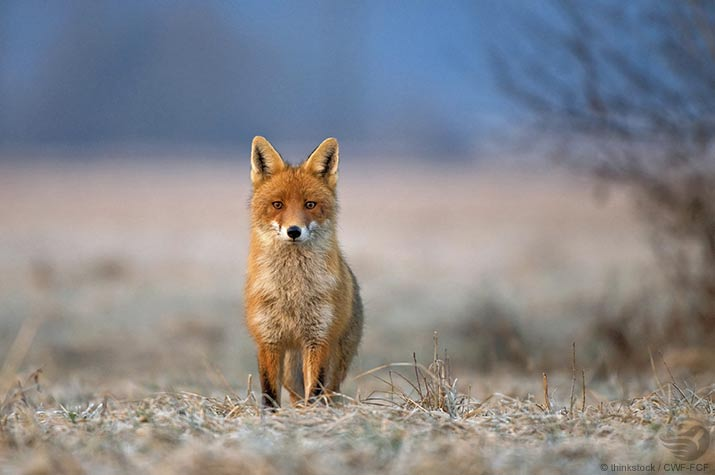 Red fox in grasslands