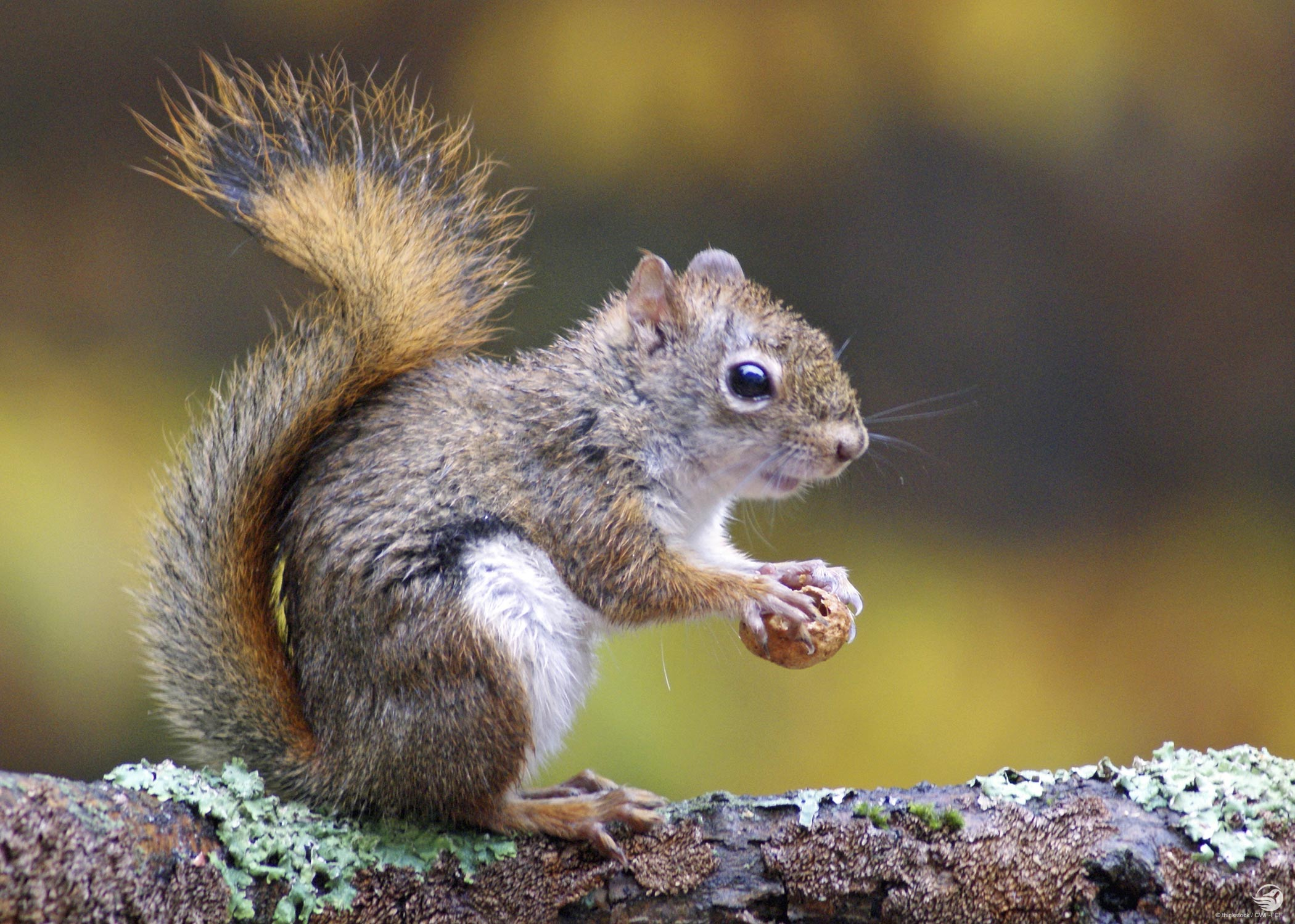 Grey Squirrel with a nut