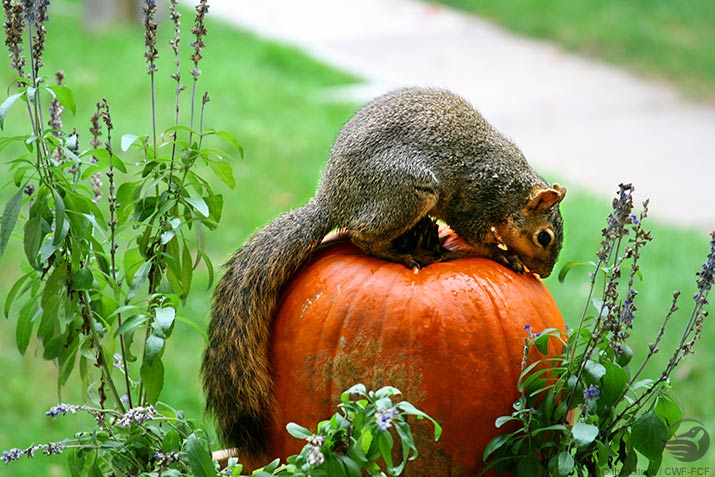 Squirrel on a pumpkin