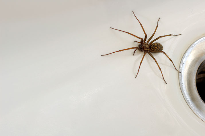 Spider coming out of the bathtub