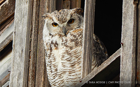 owl in barn