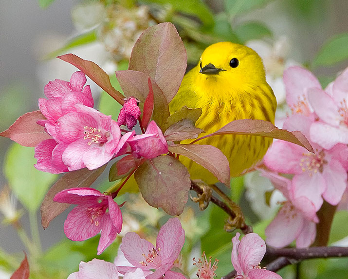 Yellow Warbler in a bush with pink flowers