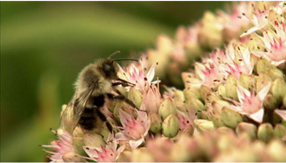 pollinators bees abeilles pollinisateurs