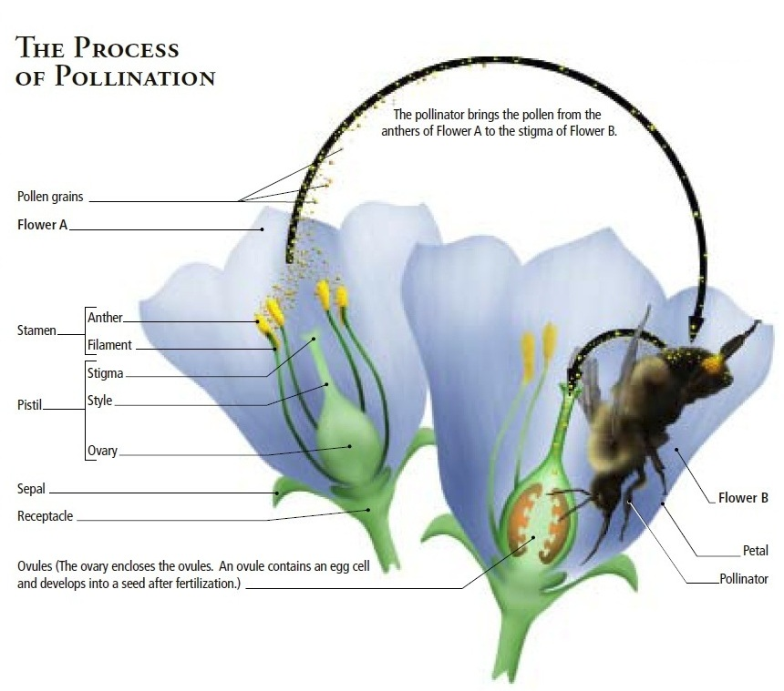 Graphic showing the pollination process