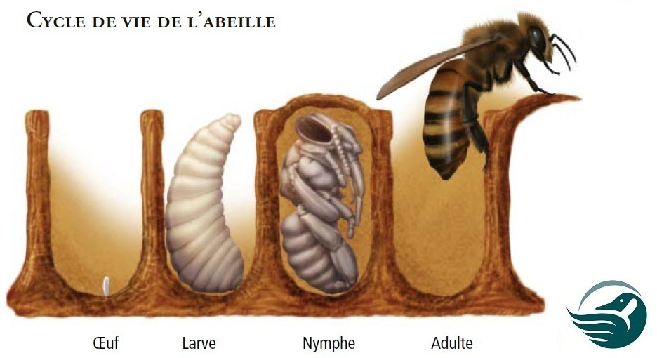 Lifecycle of a bee